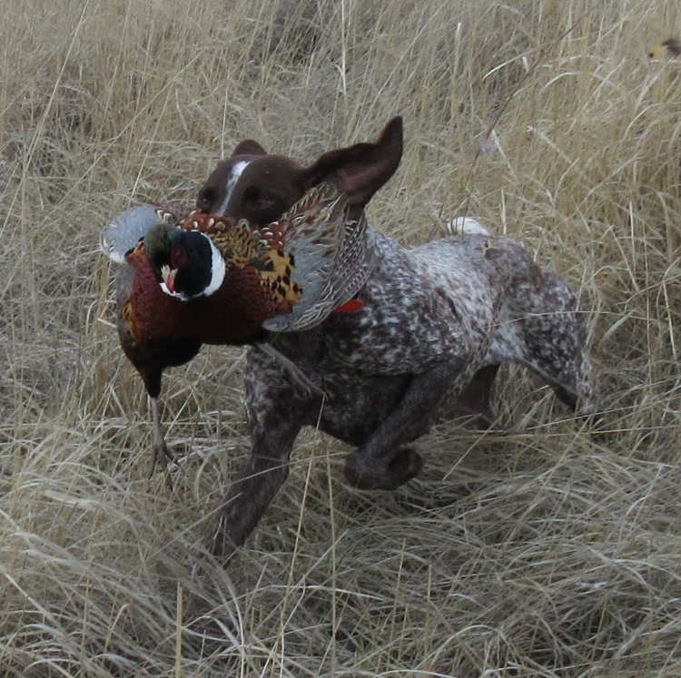 Dog retrieving a pheasant